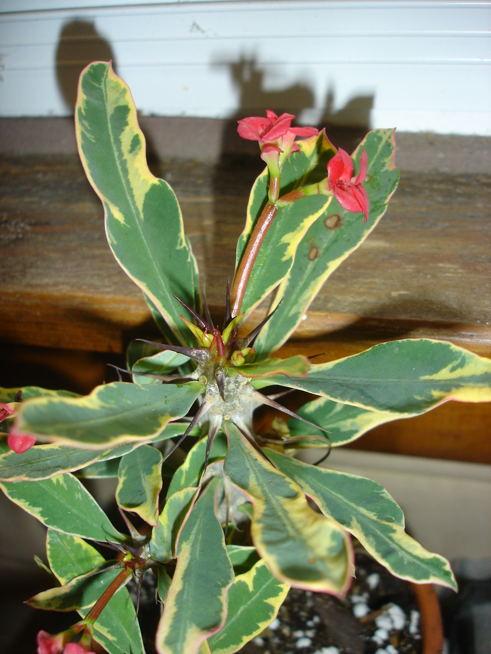 Crown of Thorns 'Golden Charm'