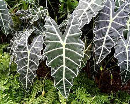 African Mask Plant African Mask