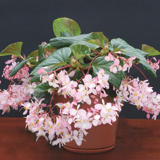 Begonia 39 Tea Rose 39 Buy It Now