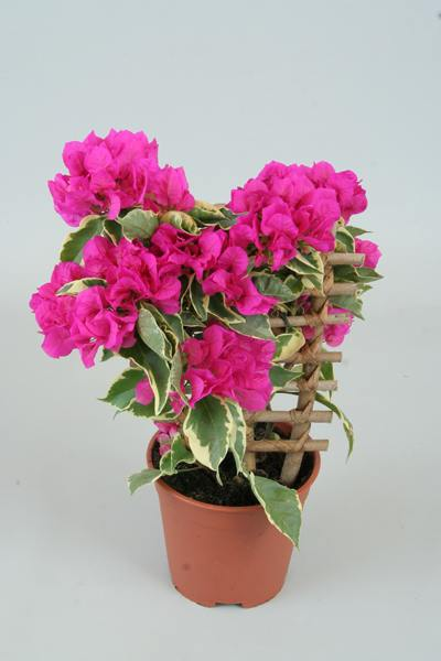 Bougainvillea Winter Care What To Do With A Bougainvillea: Bougainvillea 'Vera Purple'