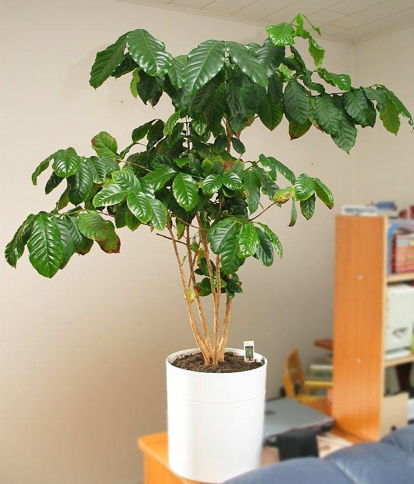 Уход за растением кофе в домашних условиях