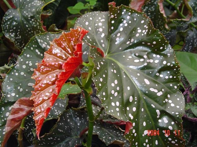Begonia Lin Rosie Leaf