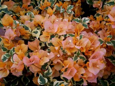 Bougainvillea 'Delta Dawn'