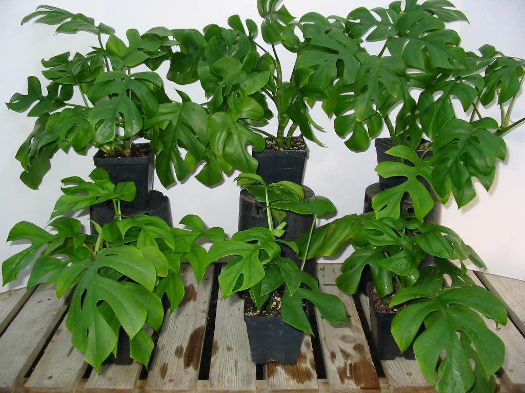 Tree Philodendron (Philodendron selloum, also Philodendron ...