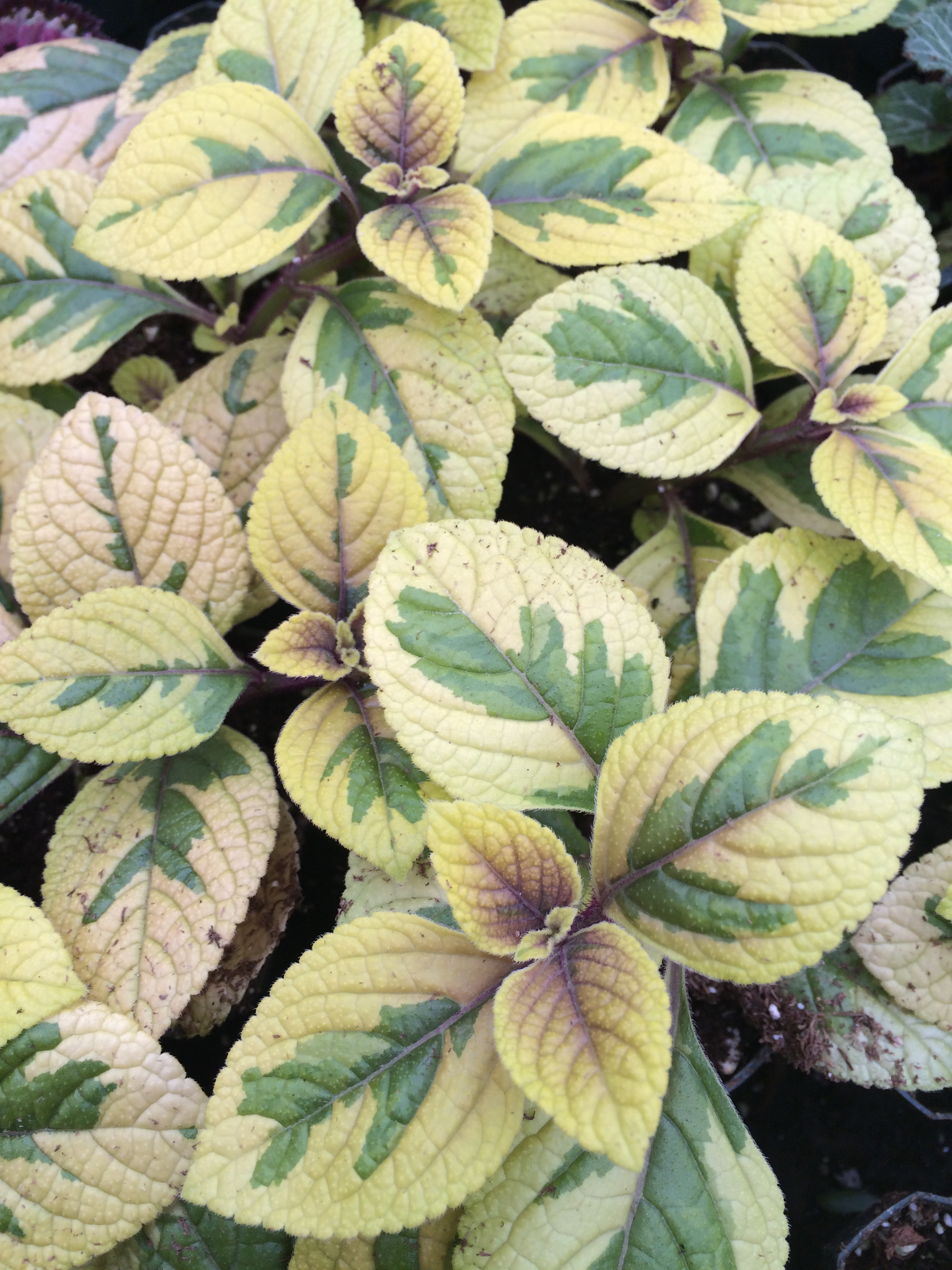 Golden Swedish Ivy (Plectranthus 'Troy's Gold')