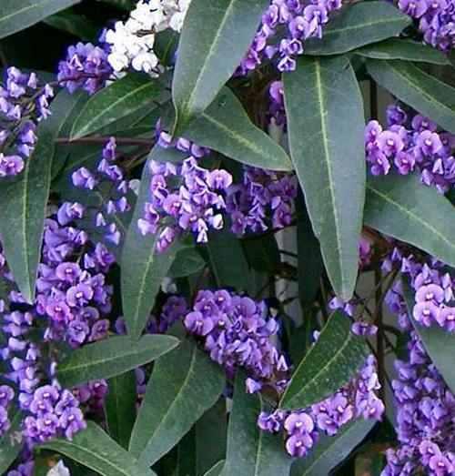 Corkscrew vine also called snail vine vigna caracalla for Pianta rampicante con fiori viola a grappolo
