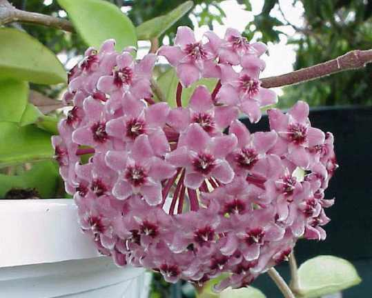 Fragrant Wax Plant Hoya Odorata Buy It Now