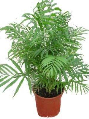 neanthebella Palm Fern House Plant on white fern plant, palm leaf house plant, palm tree house plant, palm house plant identification, majesty palm house plant, base ball with a fern plant, sago palm house plant, kangaroo paws plant, lady palm house plant, palm fern tree, palm fern wallpaper, boston fern plant, bamboo fern house plant, date plant, air fern plant,