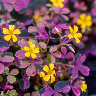 Wood Sorrel 'Plum Crazy' (Oxalis 'Plum Crazy'