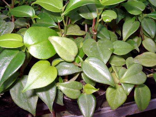 peperomiascandens Variegated Peperomia House Plant Care on jelly peperomia plant care, peperomia obtusifolia care, variegated hoya plant care, variegated teardrop peperomia care, variegated yucca plant care, peperomia caperata plant care, variegated coleus plant care, variegated schefflera plant care, variegated ground cover plants, calathea care, variegated wax plant, variegated rubber plant, variegated wandering jew plant, variegated weeping fig plant care, variegated ginger plant care, variegated ivy plant, variegated house plant identification, peperomia clusiifolia plant care, variegated house plant with waxy leaves, variegated pittosporum care,