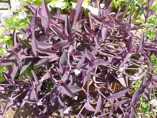 Variegated purple heart setcresea pallida variegata buy it now mightylinksfo