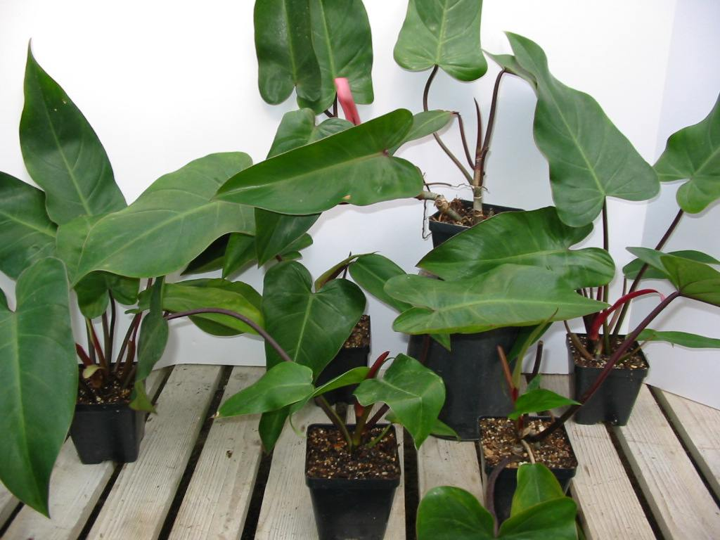Red Emerald Philodendron