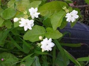 Sambac jasmine 'Maid of Orleans'
