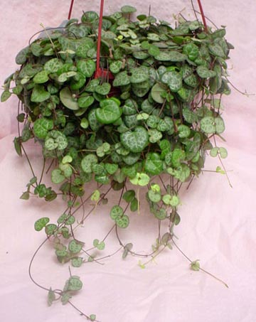 Variegated String of s, also called variegated rosary vine or ... on vine plant red flowers, vine plants identification, vine mandevilla plant care, vine plant purple flowers, vine plant with berries, puncture vine with pink flowers, weeds with pink flowers, vine with small pink flowers,