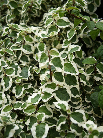 Variegated Creeping Fig