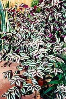 Variegated Wandering Jew