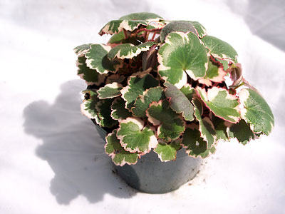 Variegated strawberry begonia, Saxifraga stolonifera